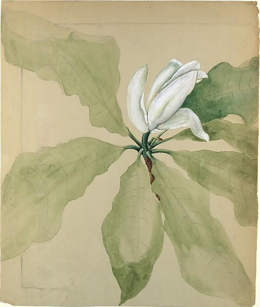 Study of Magnolia Blossom, Tiffany & Co. (1837–present), Graphite and watercolor on brown wove paper, American