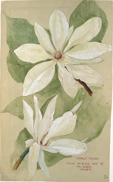 """Umbrella"" Magnolia, Tiffany & Co. (1837–present), Watercolor, pencil, and ink on brownish white wove paper, American"