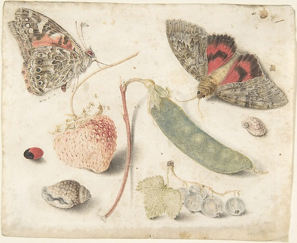 Studies of Fruits, Insects and Shells, Attributed to Georg Flegel (German, Olomouc (Olmütz) 1566–1638 Frankfurt), Watercolor on parchment