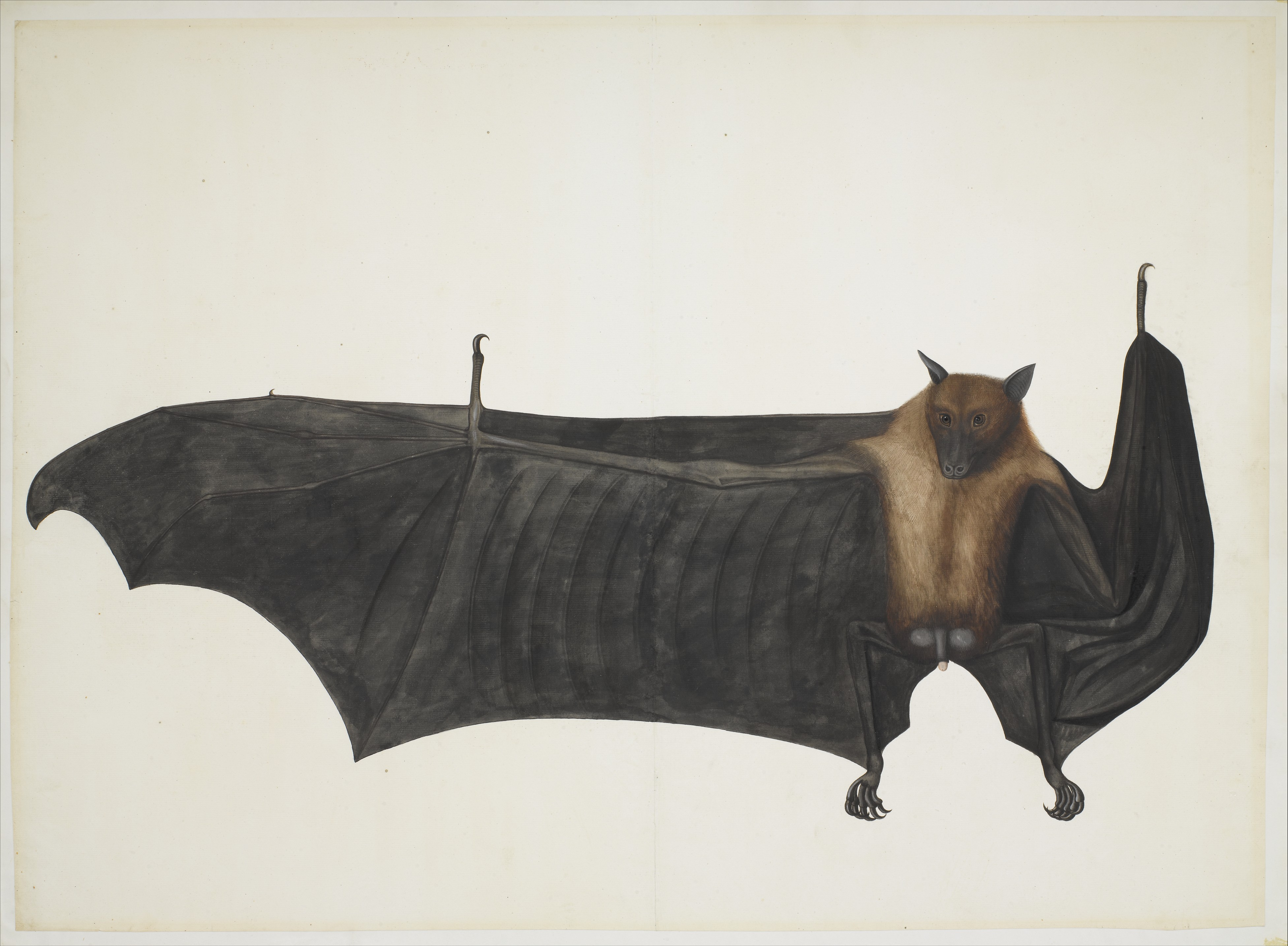 painting attributed to bhawani das great indian fruit bat the met