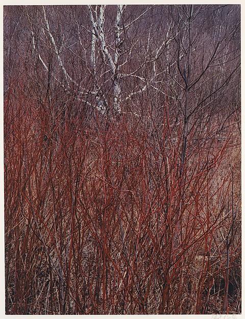 Red Osier, Near Great Barrington, Massachusetts, Eliot Porter (American, 1901–1990), Dye transfer print