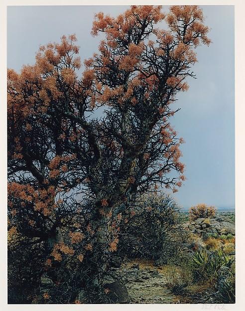 Elephant Tree in Bloom, Near El Mármol, Baja California, Eliot Porter (American, 1901–1990), Dye transfer print