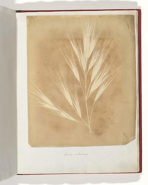 Bromus Maximus, Genoa, William Henry Fox Talbot (British, Dorset 1800–1877 Lacock), Salted paper print