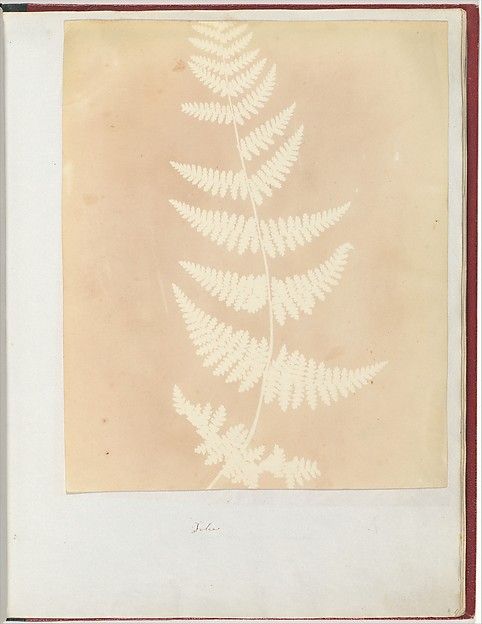 Felce, William Henry Fox Talbot (British, Dorset 1800–1877 Lacock), Salted paper print