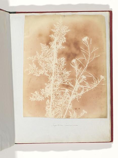 Sisymbrium Cumingianum, William Henry Fox Talbot (British, Dorset 1800–1877 Lacock), Salted paper print