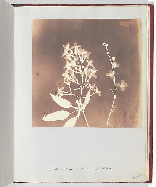 Heliophila, William Henry Fox Talbot (British, Dorset 1800–1877 Lacock), Salted paper print