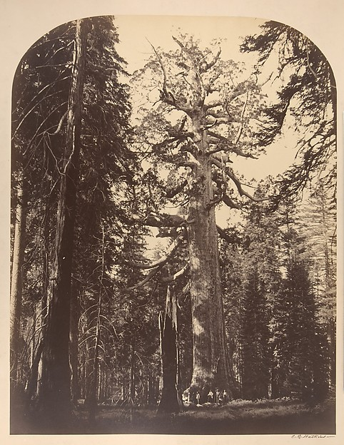 The Grisly Giant, Mariposa Grove, Yosemite, Carleton E. Watkins (American, 1829–1916), Albumen silver print from glass negative