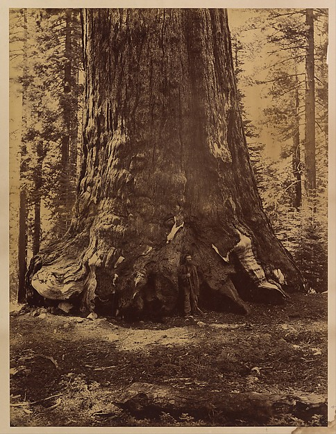 Section of the Grizzly Giant with Galen Clark, Mariposa Grove, Yosemite, Carleton E. Watkins (American, 1829–1916), Albumen silver print from glass negative